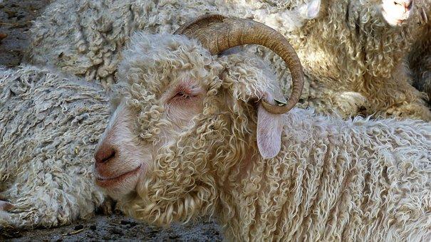 Animals, Pets, Portrait Of Animals, Sheep, Head