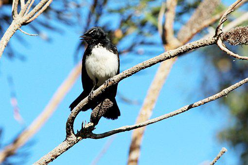 Willy Wagtail, Wagtail, Fantail, Bird, Avian, Australia