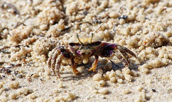 Crab, Sand, Sea, Beach, Crustacean, Animal, Holiday