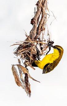 Bird, Olive Backed Sunbird, Nest Building, Yellow Bird