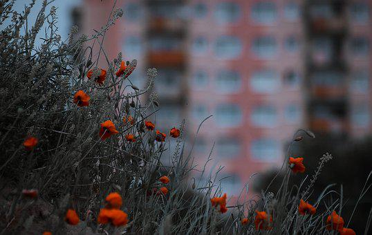 Poppies, City, Flowers, Blooms, Red, Nature