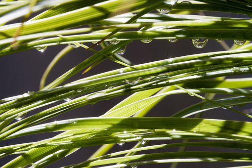 Pony Tail Palm, Leaf, Leaves, Botanic, Botanical