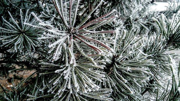 Frost, Christmas Tree, Winter, Hard Rime, Holidays