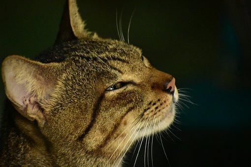 Cat, Whiskers, Pet, Portrait, Mammal, Animal, Eye