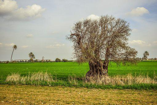 Tree, Field, Grass, Nature, Agriculture, Landscape