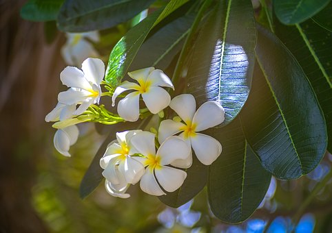Flower, Frangipanni, White Flower, Nature, Flora, Leaf