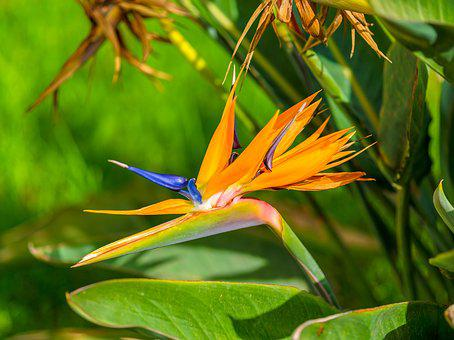 Bird Of Paradise, Flower, Tropical, Floral, Plant