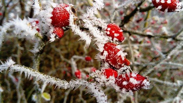 Frost, The Fruit Red, Wild Rose, Winter, Bush, Frozen