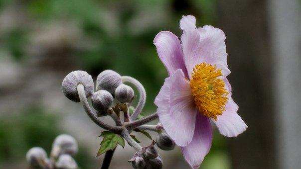 Japanese Anemone, Flowers, Garden