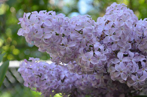 Flowers, Lilacs, Spring, Purple, Blossom, Bloom, Floral