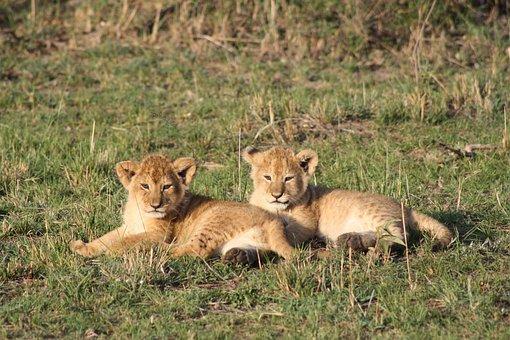 Lion Cubs, Africa, Kenya, Masai Mara, Safari, Lion
