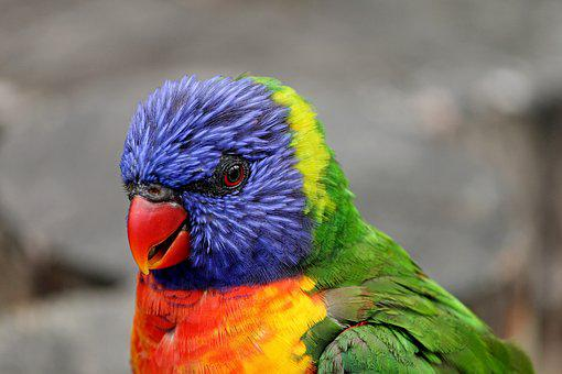 Parrot, Close, Lorikeet, Trichoglossus Rainbow, Bird