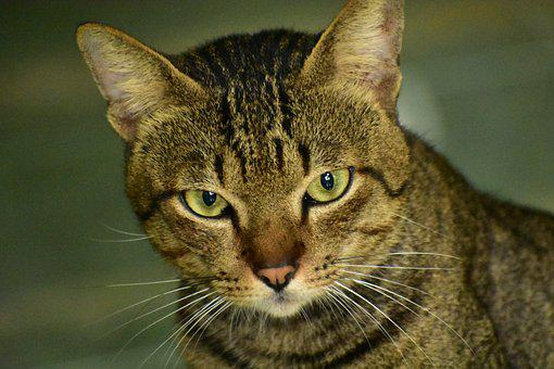 Cat, Eyes, Whiskers, Fur, Pet, Portrait, Animal, Mammal