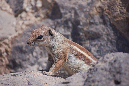 Gophers, Sweet, Nager, Rodent, Close, Cute, Furry