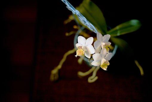 Flower, Orchid, Roštín, Phalaenopsis, White, The Gentle