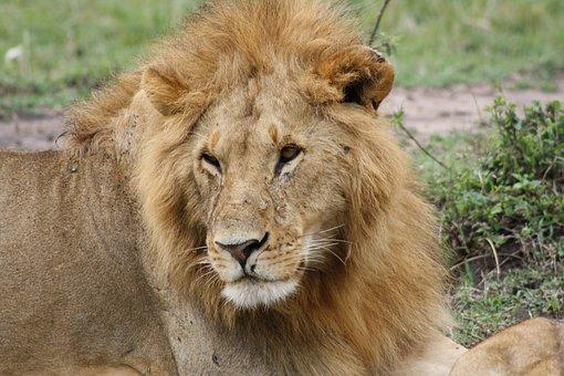 Lion, Africa, Kenya, Masai Mara, Safari