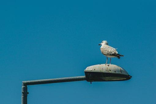 Gull, Light Poles, Street Lighting, Birds, Water