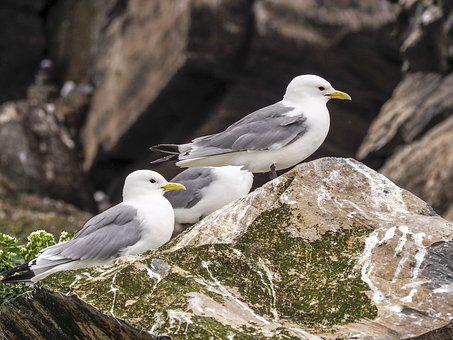 Birds, Seagull, Sea birds, The Seagulls, Nature