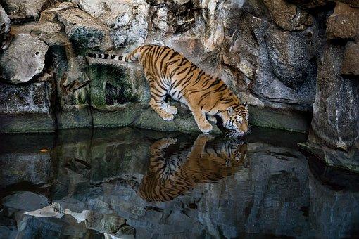 Tiger, Predator, Big Cat, Dangerous, Carnivores, Zoo