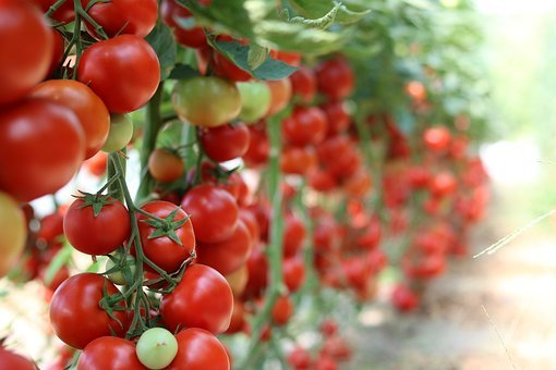 Tomatoes, Garden, Vegetables, Healthy, Cultivation