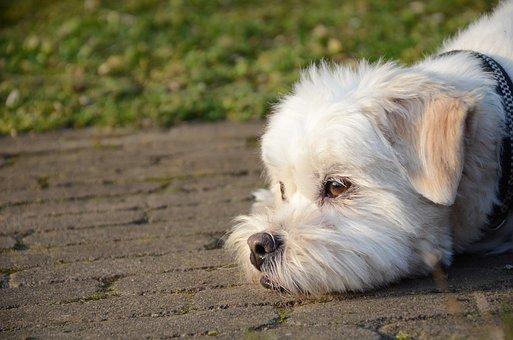Dog, Laying, Floor, Pet, Animal, Puppy, Cute, White