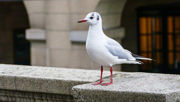 White Young Seagull, Bird, Wall, Seagull, Close