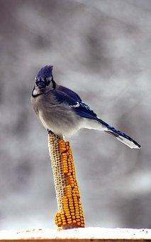 Bird, Blue Jay, Corn, Winter, Iowa