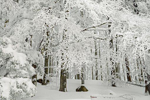 Forest, Winter Forest, Winter, Snow, Cold, Trees