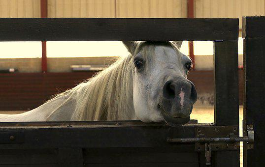 Horse, Arabian Horse, Pure-blood, Curious, Rascally
