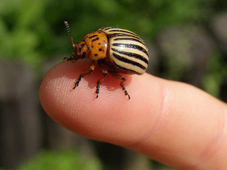 Potato Beetle, Beetle, Striped, Coleoptera, Insect
