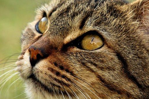 Cat, Animalia, Mammalia, Fur, Portrait, Nature