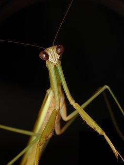 Praying Mantis, Insect, Grasshopper, Praying, Mantis