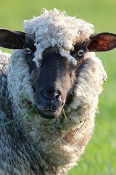 Animal, Nature, Mammal, Grass, Sheep, Field, Outdoors