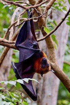 Bat, Hanging Bat, Nature, Tree, Hanging, Tropical