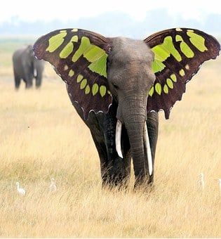 Elephant, Ears, Butterfly, Manipulation, Abstract, Wild