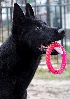 Black German Shepherd, Dog, Portrait, Head, Hoop, Nice
