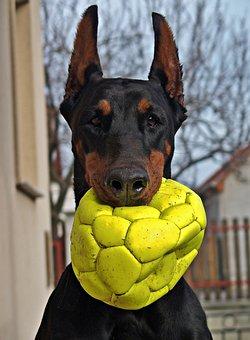 Doberman, Dog, Portrait, Head, Ball, Nice