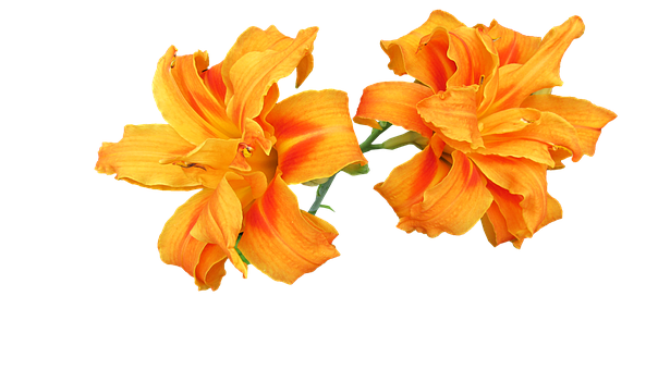 Day Lily, Flower, Cutout