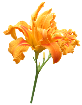 Flower, Stem Day Lily, Summer