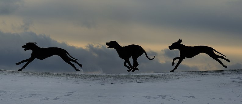 Dog Run, Great Dane, Silhouette