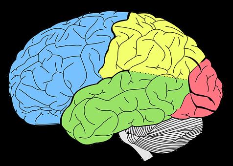 Brain, Lobes, Neurology, Human, Body, Biology