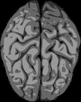 Brain, Cerebellum, Human, Anatomy, Intelligence