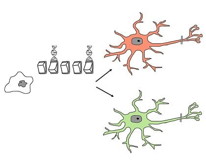 Stem Cell, Differentiation, Programming, Switch