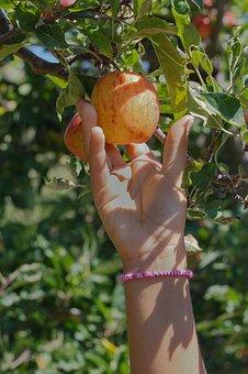 Apple, Picking, Fruit, Farm, Harvest, Red, Summer