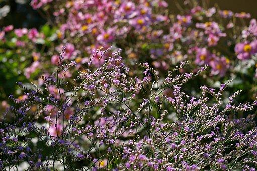 Annemone, Herbstannemone, Background, Beach Lilac