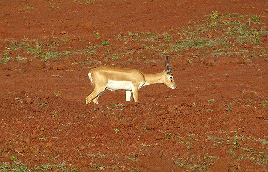 Blackbuck, Antelope, Wild, Animal, Mammal, Cervicapra