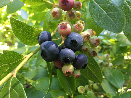 Blueberries, Bush, Sweet, Heidelbeerstrauch, Blueberry