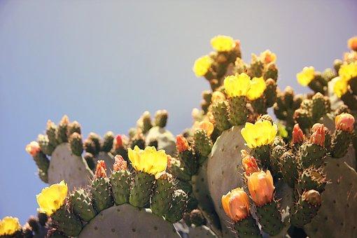 Prickly Pear, Cactus, Cactus Greenhouse, Fruit, Sting
