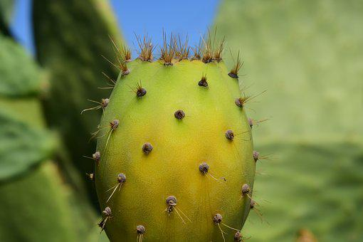 Cactus, Prickly Pear, Cactus Greenhouse, Prickly