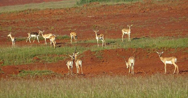 Blackbuck, Antelope, Wild, Animal, Mammal, Cervicapra